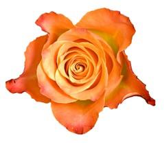 Pomarańczowe Róże - Średnie 60-70cm