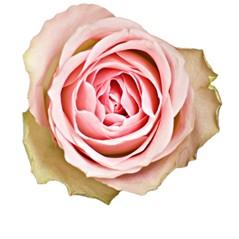Różowe Róże - Średnie 60-70cm