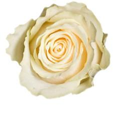 Kremowe Róże - Średnie 60-70cm