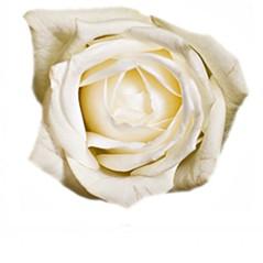 Białe Róże - Średnia 60-70cm