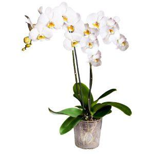 Biały phalaenopsis w szklanej donicy